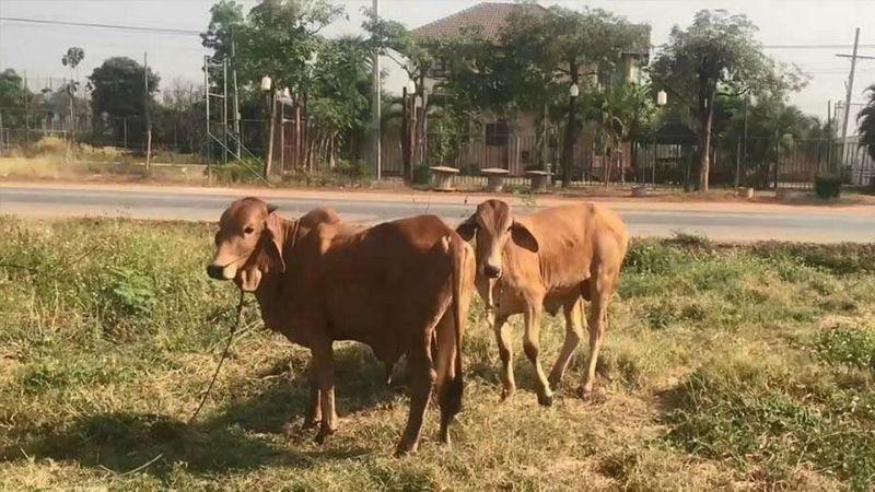 Любвеобильного извращенца без штанов с трудом оттащили от коровы