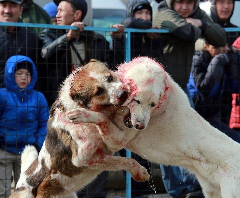 Жестокие собачьи бои на стадионе в Бишкеке