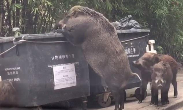 Свинозилла наводит ужас на Гонконг