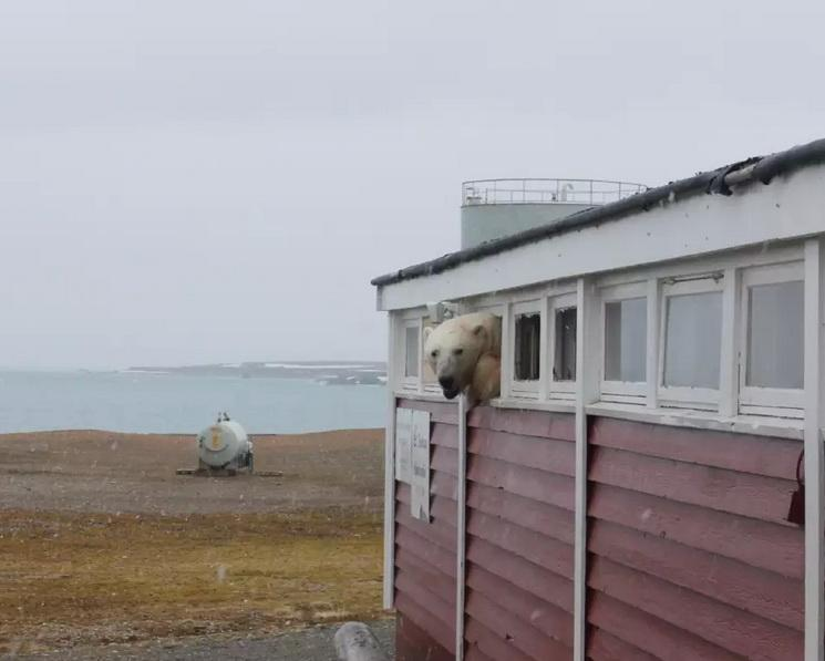 Белый медведь похозяйничал в кладовой отеля на Шпицбергене