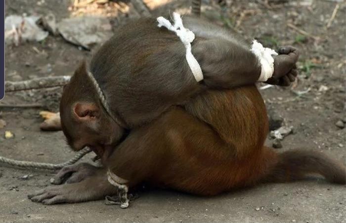 Зачем в Индии арестовывают обезьян?