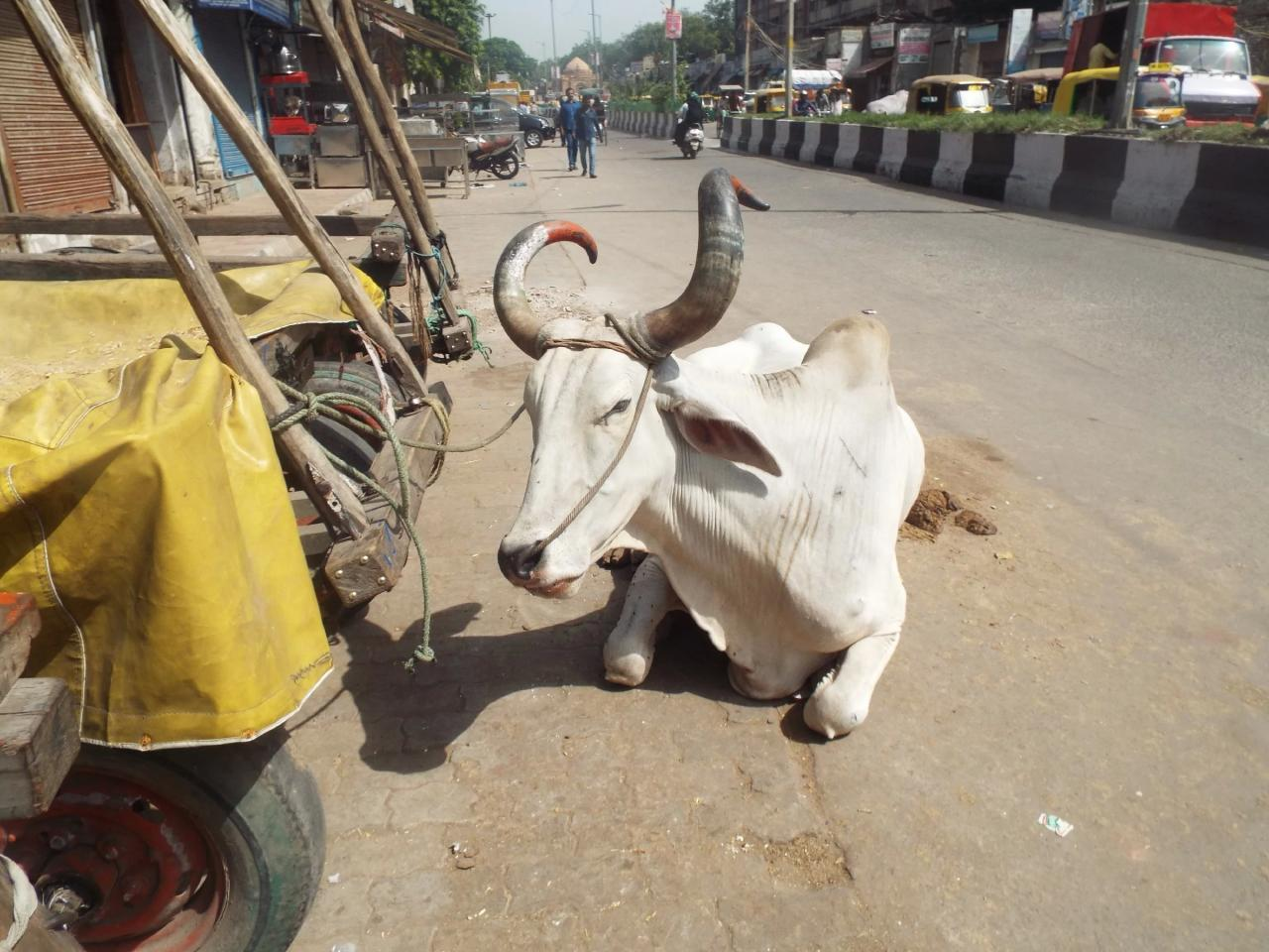 Правда ли, что в Индии нельзя убивать коров?
