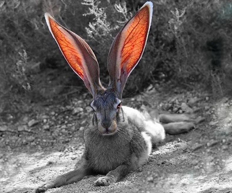 Чернохвостый заяц: Венозный эхолокатор. Как живут зайцы с огромными ушами-радарами?