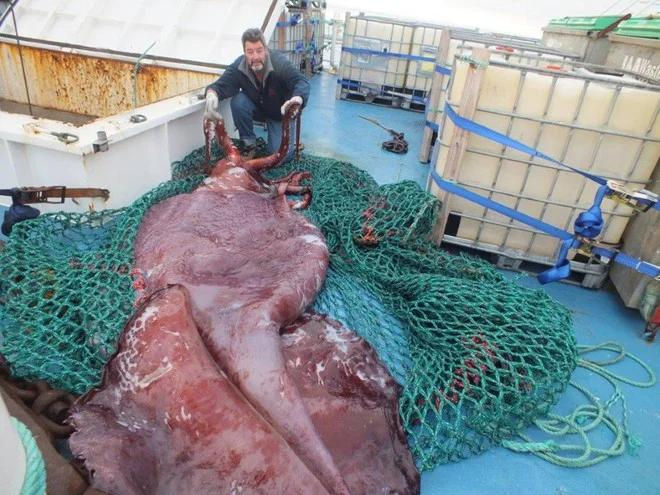 Гигантский кальмар: У страха глаза велики. Мифы и правда о монстрах из глубин