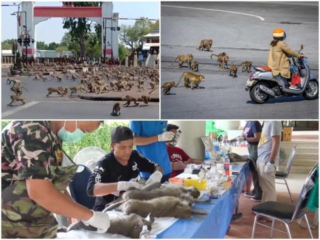 В Таиланде кастрировали сотни обезьян  после того, как приматы устроили беспорядки и набеги на дома