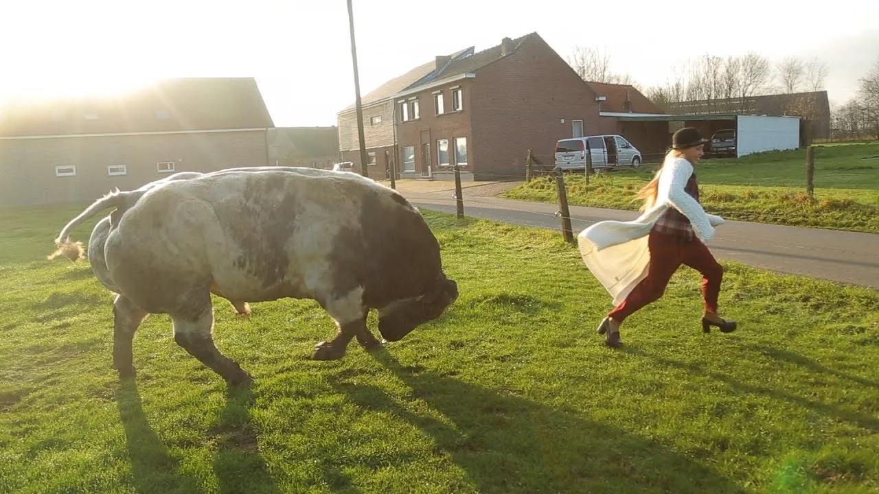 Бельгийская голубая: Целая порода коров, у которой сломался ген контроля мышечной массы