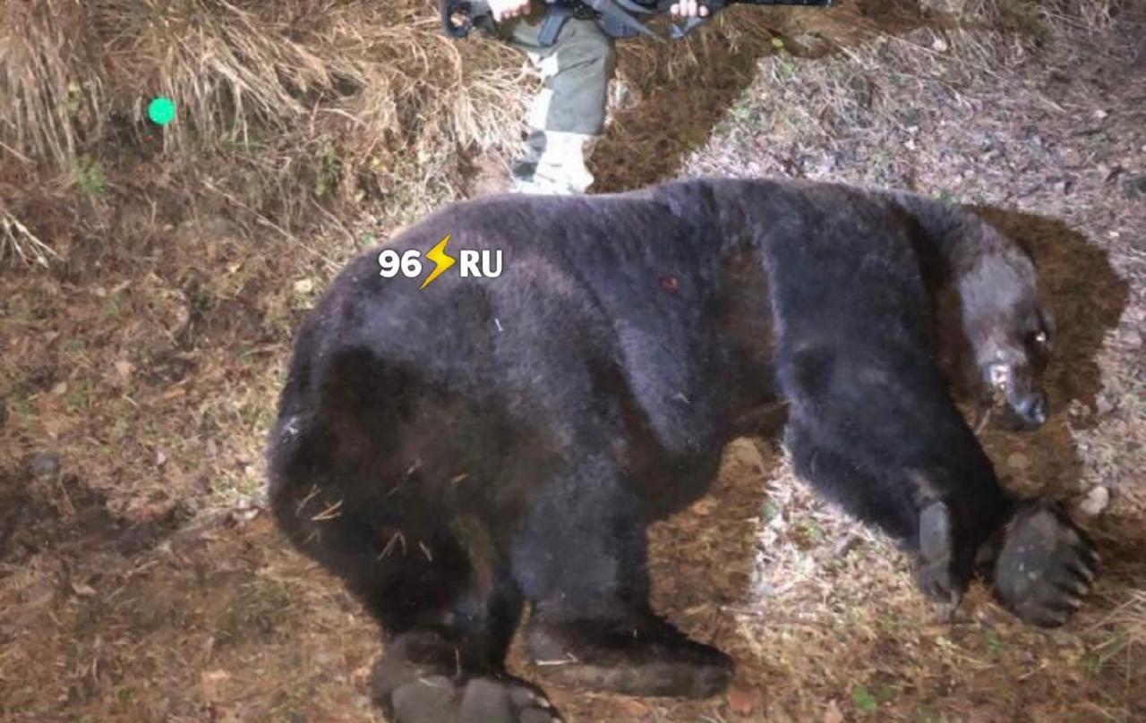 В Нижнем Тагиле на территории кладбища «Пихтовые горы» был застрелен медведь, который повредил несколько могил и съел тело покойного.