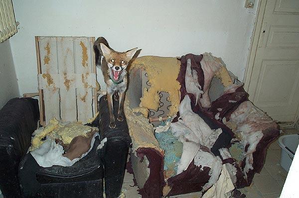 Содержание волка домашних условиях