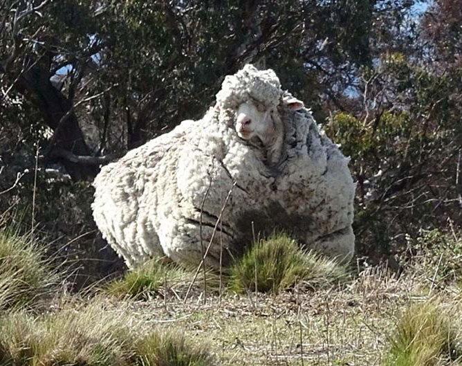 С заросшей австралийской овцы состригли шерсти на 30 свитеров