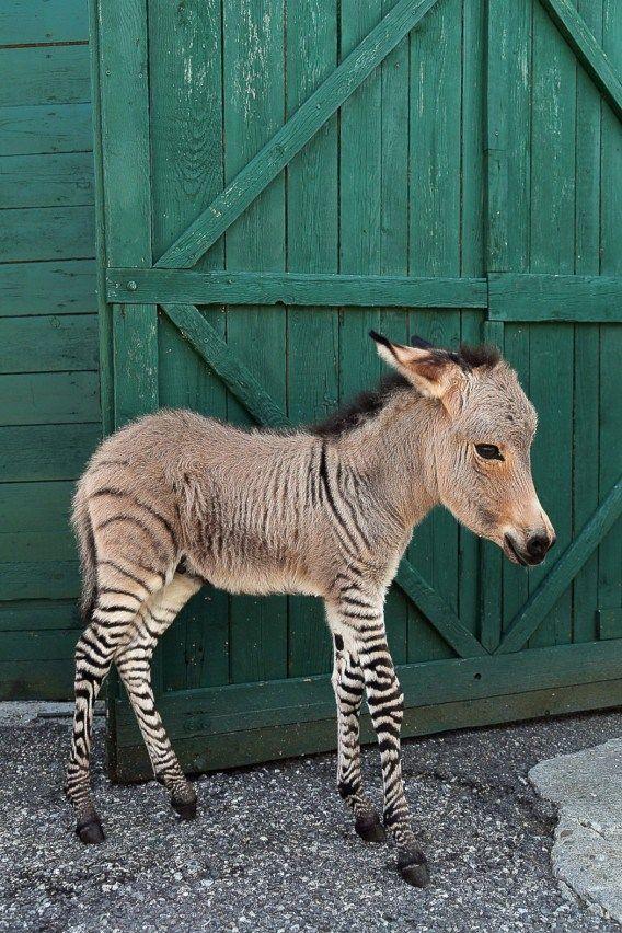 Его родители - самец зебры и самка осла - познакомились в резервации